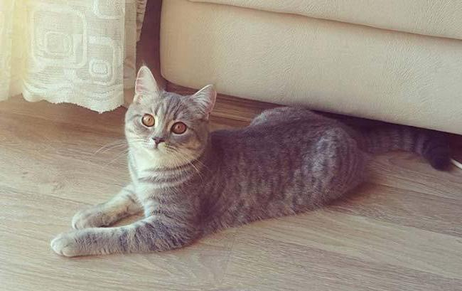 турецкая анатолийская кошка