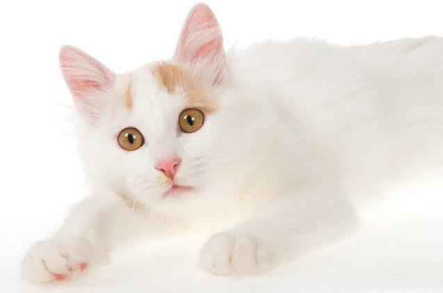анатолийская кошка цена