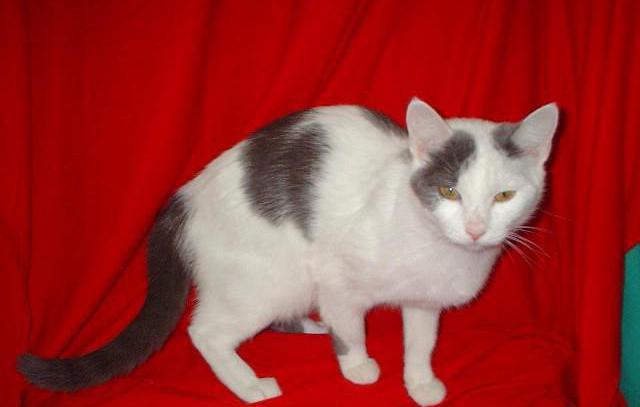 анатолийская кошка турецкая короткошерстная
