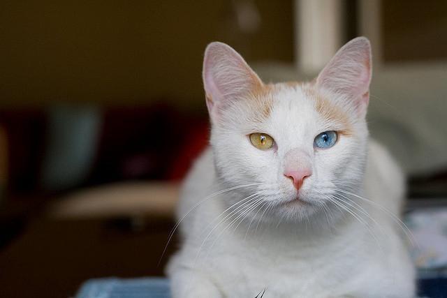 анатолийская кошка описание
