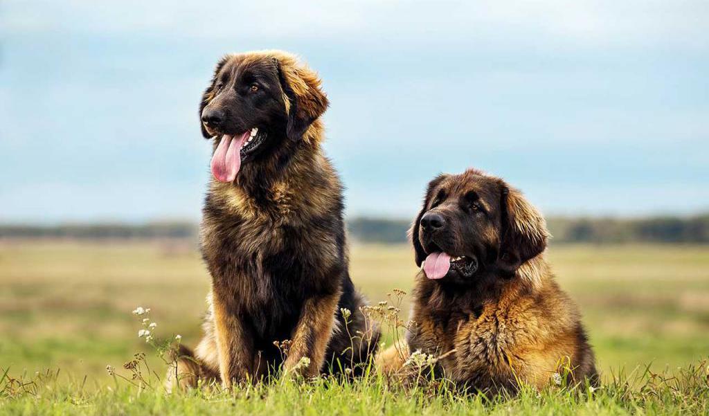 это картинки собак похожих на львов оглашая окрестности