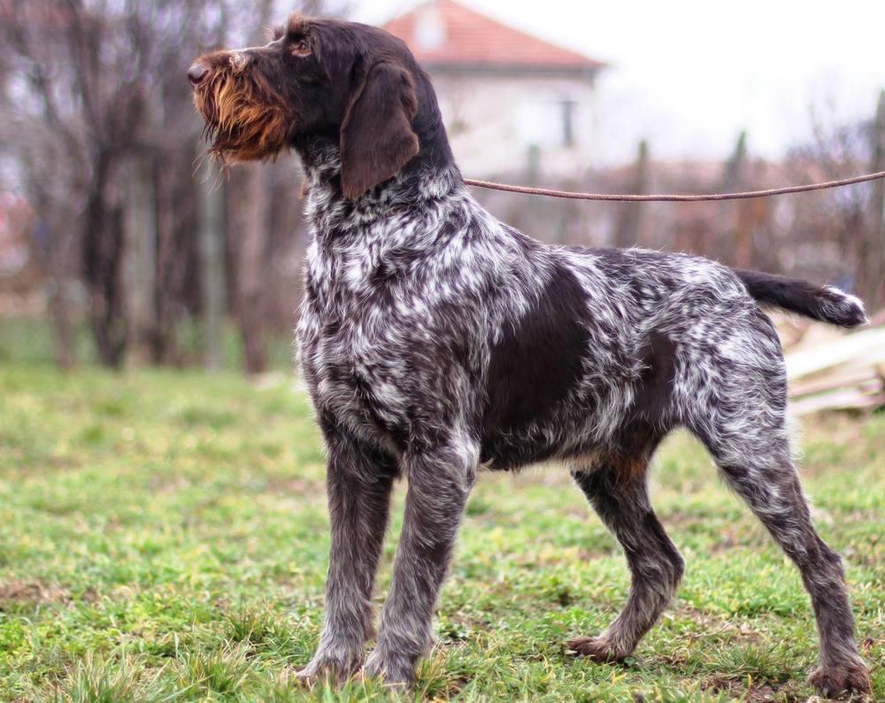 Немецкие охотничьи собаки: описание пород с фото