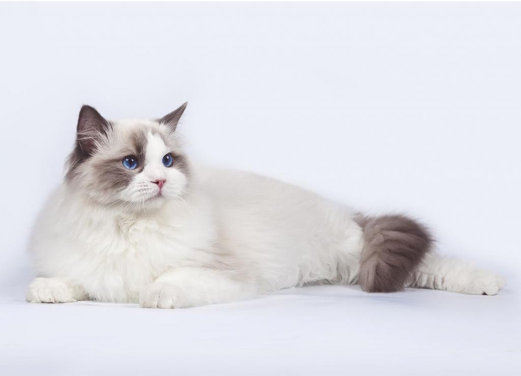 Самые красивые породы котов: описание и отзывы. Рэгдолл. Американская короткошерстная кошка. Селкирк-рекс. Манчкин