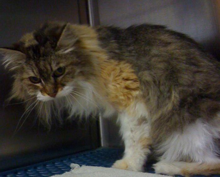 опухоль молочных желез у кошек