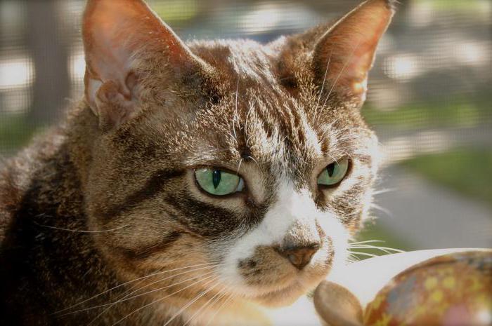 доброкачественная опухоль молочной железы у кошки