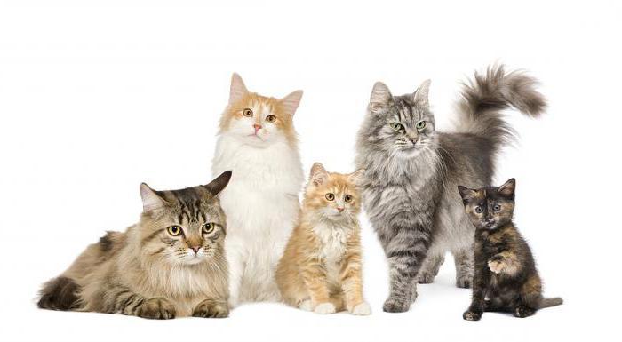 дирофиляриоз у кошек профилактика