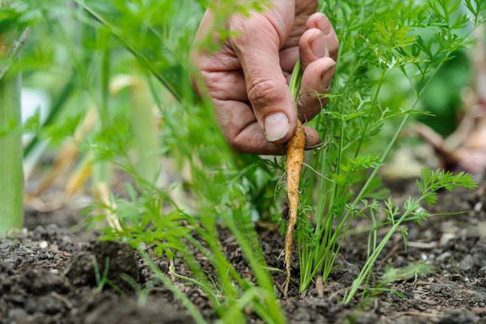 морковь выращивание и уход в открытом грунте