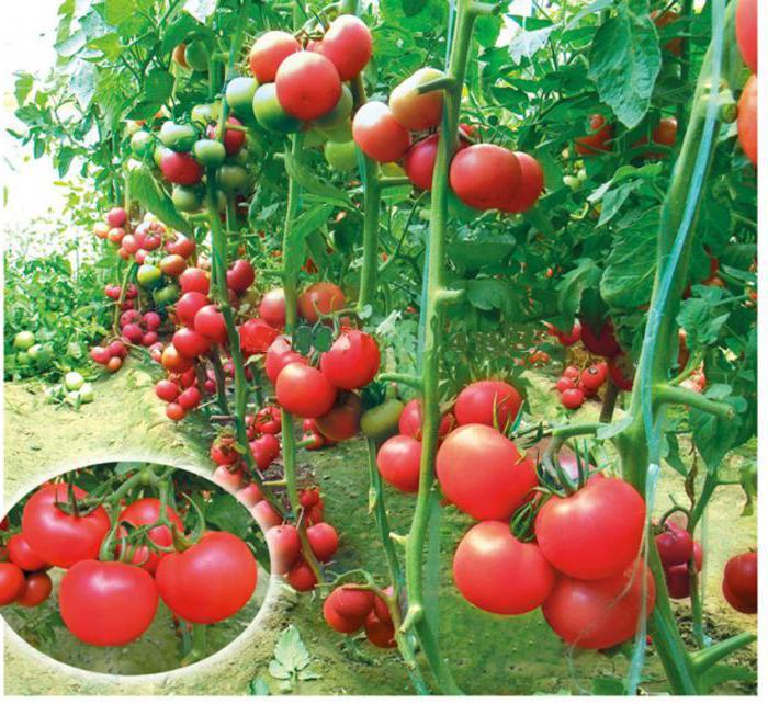 помидор пинк буш