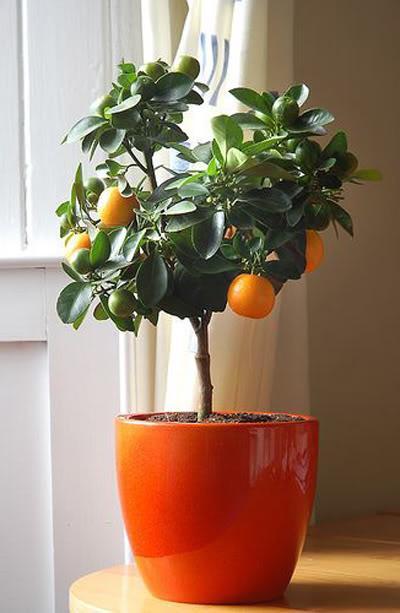 Цитрусовое дерево уход в домашних условиях фото