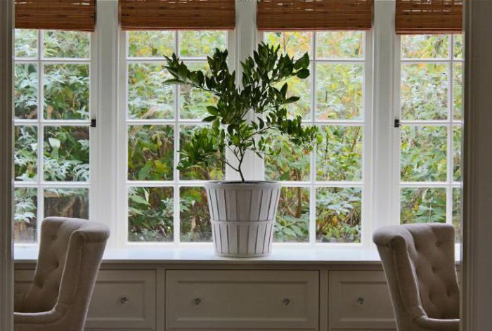Сорта цитрусовых растений комнатных