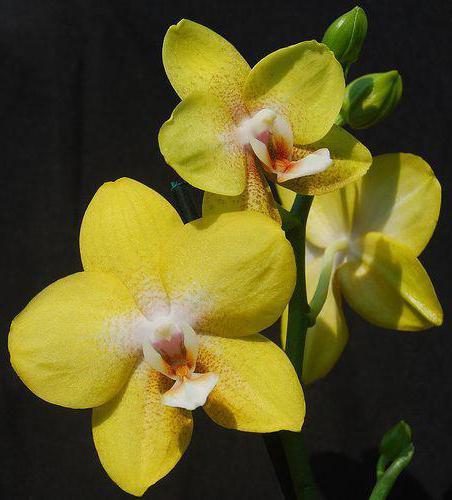 Фаленопсис сорт желтого цвета