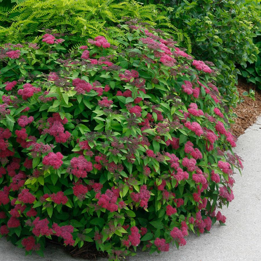 Гиацинтовые бобы: декоративное вьющееся растение для