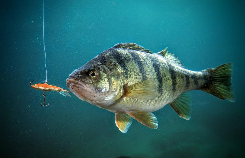 действительно, картинки про рыбу окуня мало