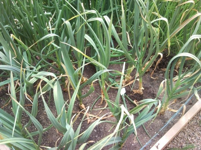 how often to water the onions in the open field