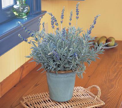 Цветок лаванды в домашних условиях