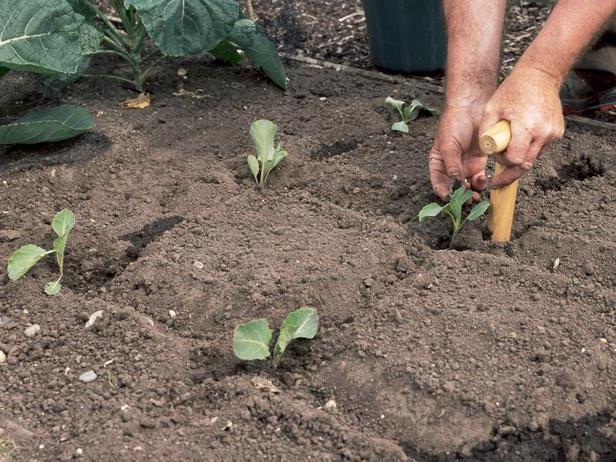 Выращивание капусты на урале в открытом грунте 891