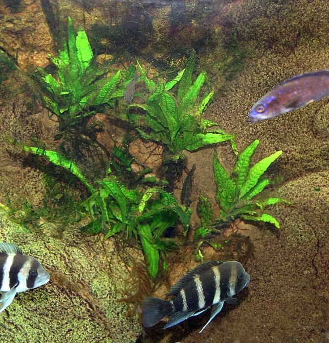 Как сажать папоротник в аквариум 17