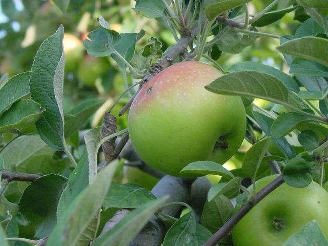 как называется плод яблони