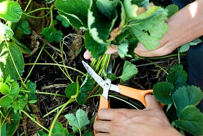 Земляника садовая выращивание и уход после сбора урожая 80