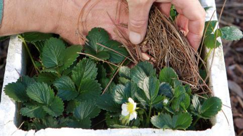 Уход за клубникой ранней весной
