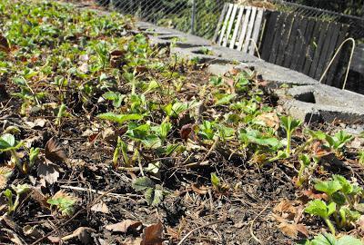 Как весной обработать клубнику