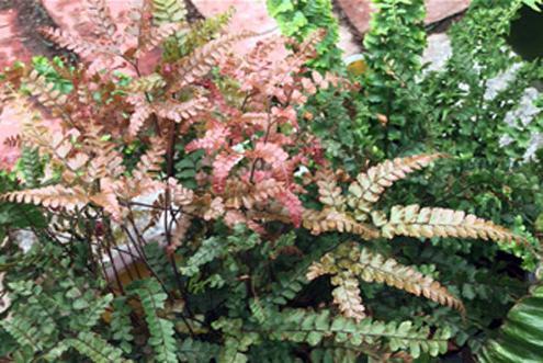 Папоротник комнатное растение фото