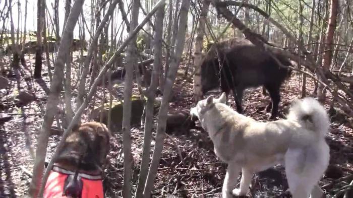 Охота на кабанов с лайками