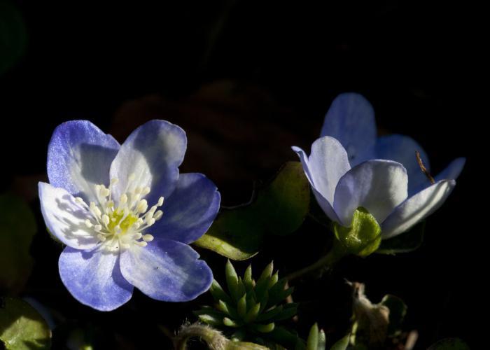 Цветы подснежники