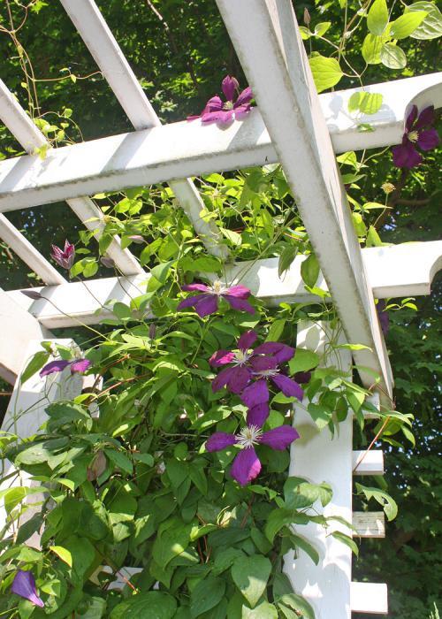 Вьющиеся цветы для арки на даче