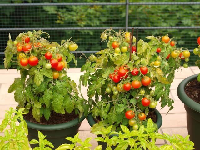 Ампельные помидоры - украшение балкона.