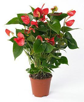 Растения комнатные экзотические о