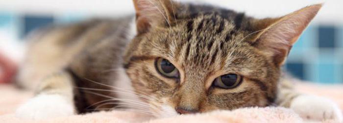 хронический панкреатит кошек