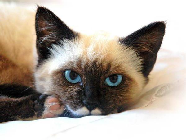 панкреатит у кошек симптомы