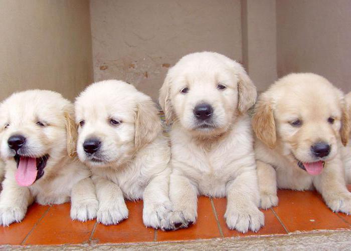 таблетки азинокс плюс от глистов для собак