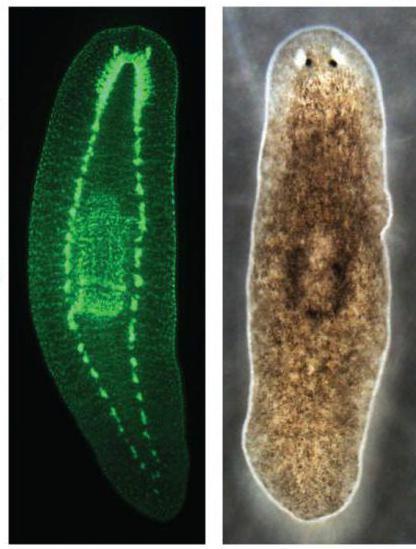 впервые нервная система появляется у круглых червей