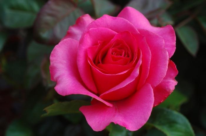 когда лучше пересаживать розы