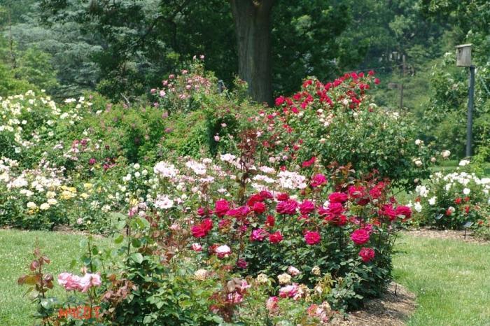 когда пересаживать розы весной