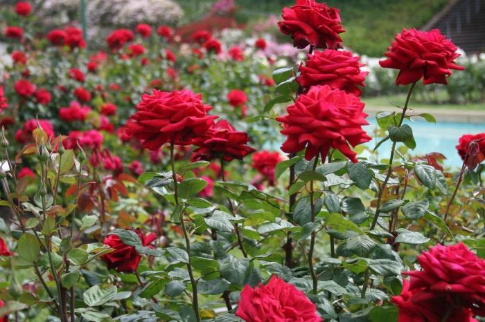 когда можно пересадить плетистую розу