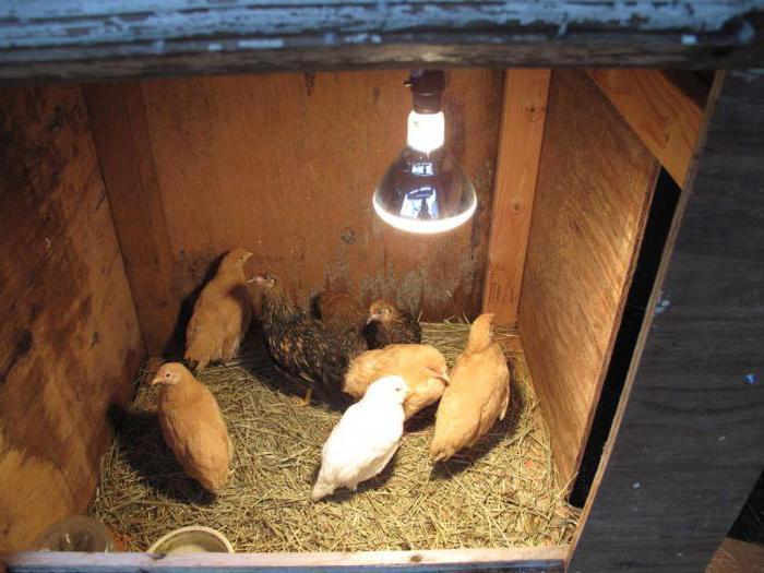 суточные цыплята уход