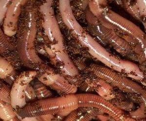 Дендробена червь (Dendrobena Veneta): выращивание, разведение
