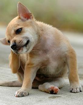 грибок у собак симптомы
