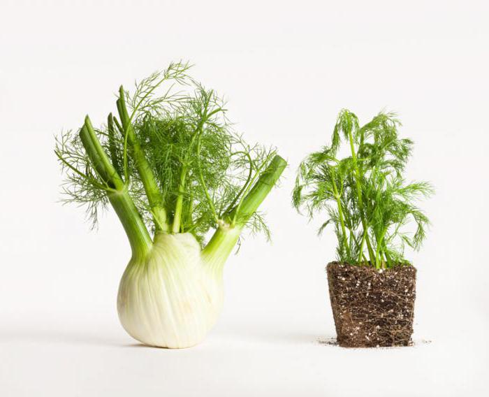 семена фенхеля применение отвара