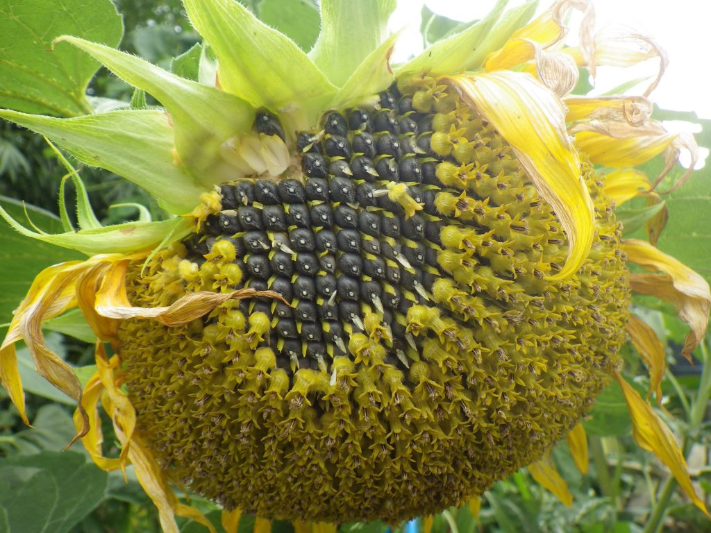 сколько кальция в семечках подсолнуха