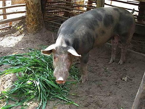 стимуляторы для роста свиней