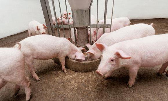 какие стимуляторы роста для свиней