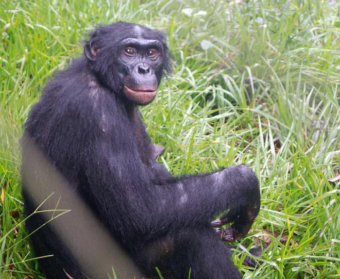 обезьяна с губами