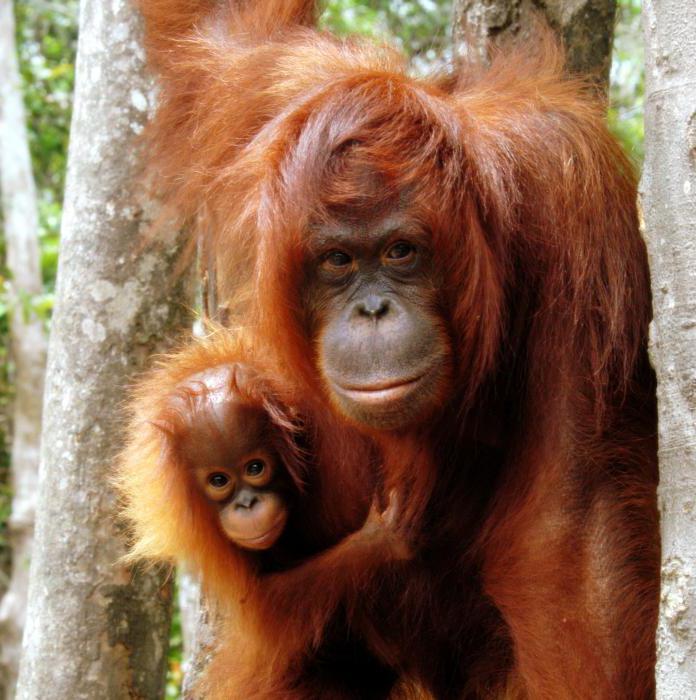 обезьяна с красными губами