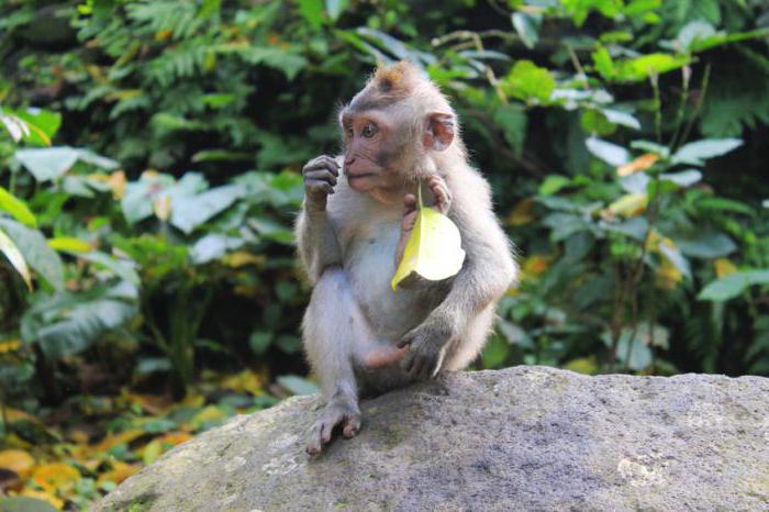 губы обезьяны