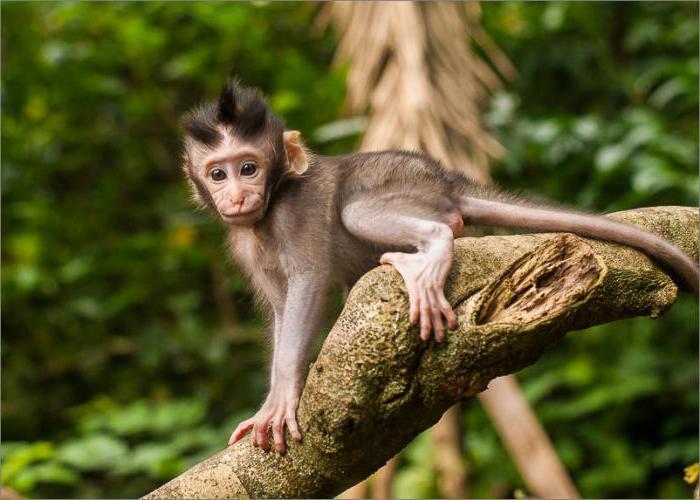 обезьяна с большими губами