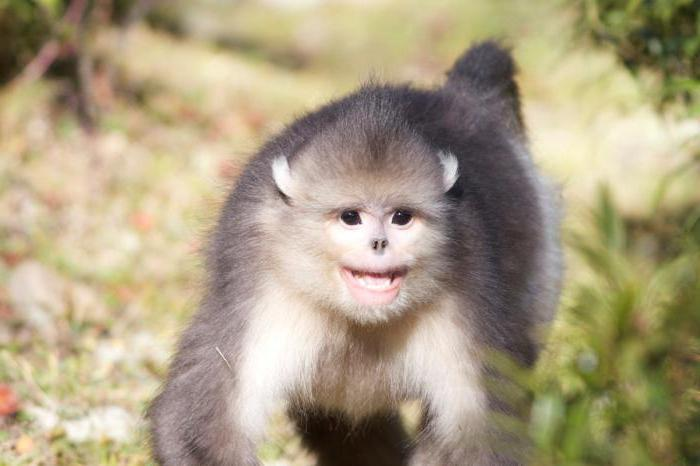 обезьяна с выÑ'януÑ'ыми губами